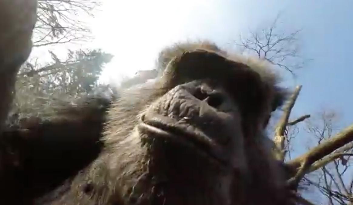 Geef een aap een GoPro en kijk wat er gebeurt